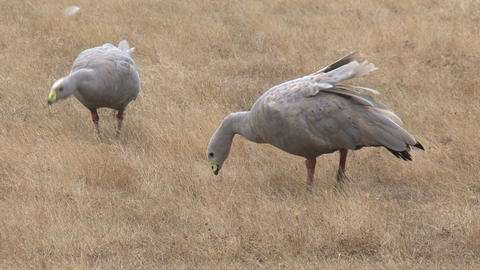 Cape Barren Goose eating grass Stock Video Footage