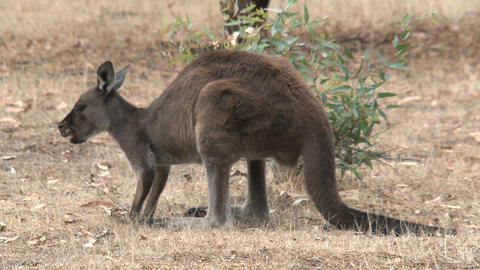 Kangaroo eating grass and looks in to the camera Stock Video Footage