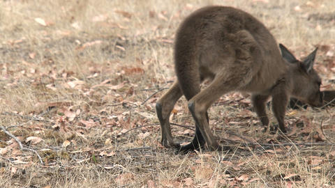 Kangaroo walks away slowly Stock Video Footage