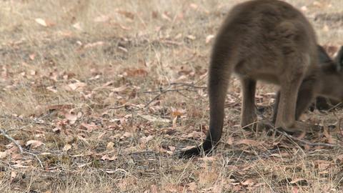 Kangaroo walks away slowly Stock Video Footage