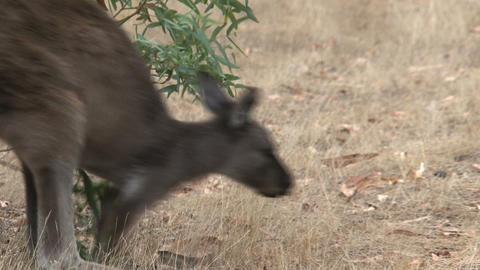Kangaroo walking away Stock Video Footage