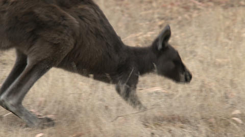 Kangaroo walking away Stock Video Footage