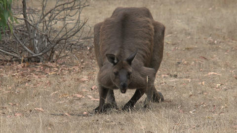Kangaroo eating grass Stock Video Footage