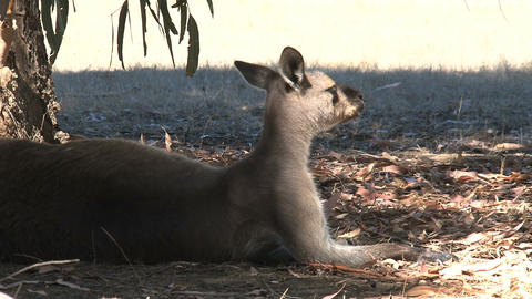 Kangaroo relaxing under a tree in the shadow Stock Video Footage