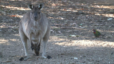 Kangaroo looking around and towards camera Footage