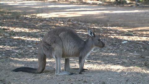 kangaroo 025 Stock Video Footage