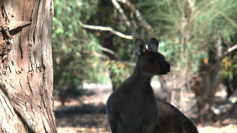 Silhoutte of a Kangaroo jumping away Footage