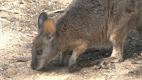 Wallaby looking for food between the sand Stock Video Footage