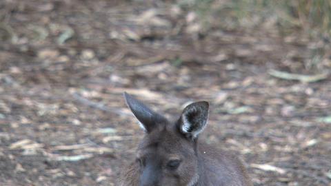 kangaroo 06 Stock Video Footage