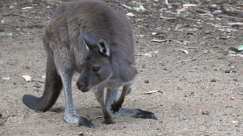 Kangaroos looking for food between the sand Stock Video Footage