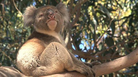 koala itchy and yawning Stock Video Footage