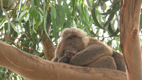 Koala sleeping Live Action