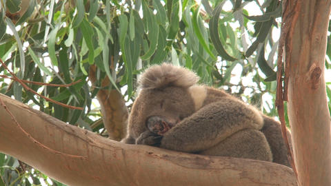 Koala sleeping Stock Video Footage