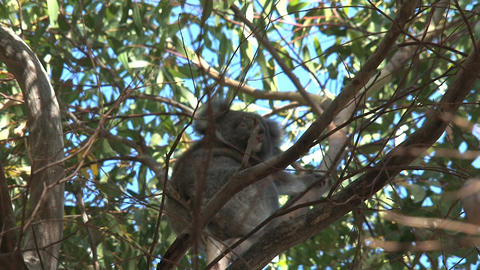 Little koala in a tree Footage