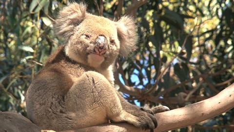 Koala awake Stock Video Footage