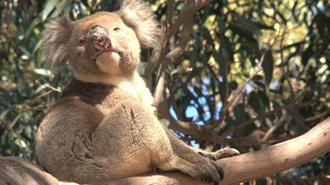Koala awake Footage