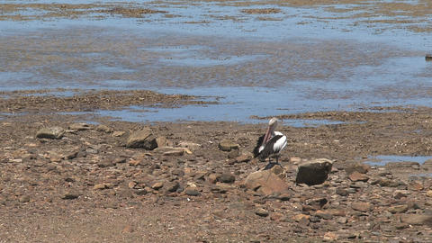 Pelican at the rocks Stock Video Footage