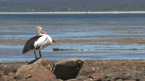 Pelican looking around and cleaning his feathers Stock Video Footage