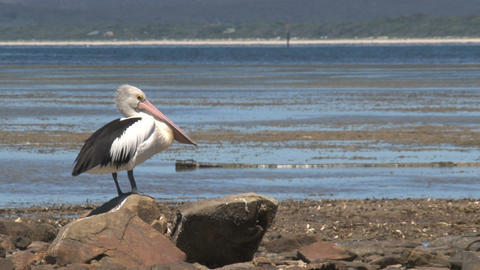 Pelican looking around and cleaning his feathers Footage