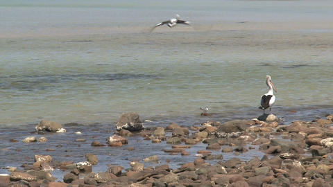 Pelican flying away Stock Video Footage