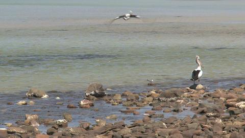 Pelican flying away Stock Video Footage