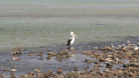 pelican zoom out Stock Video Footage