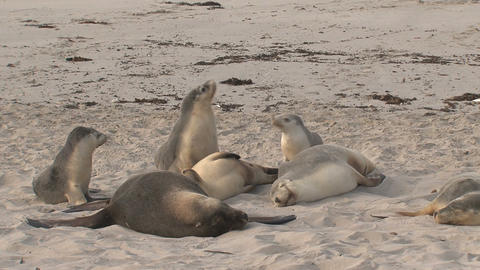 Group sea lions at the beach Stock Video Footage
