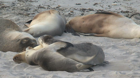 Sea lions sleeping cute together at the beach Stock Video Footage