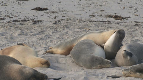 Sea lions fighting Stock Video Footage