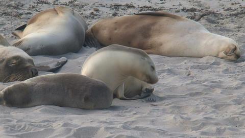 sea lion sleepy Stock Video Footage