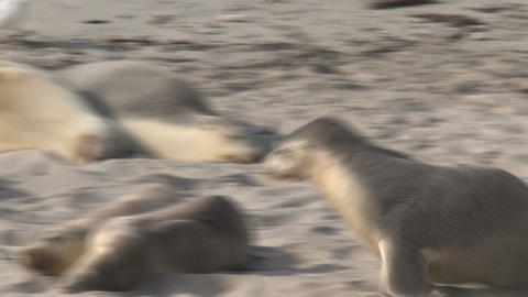 Funny shot from a sea lion going to sleep on top o Stock Video Footage