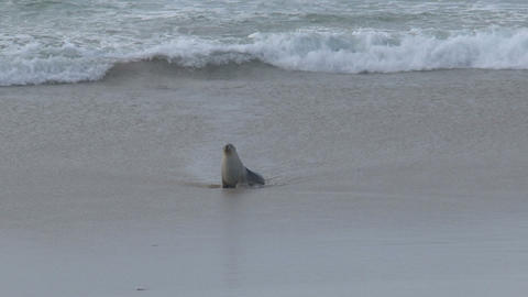 calling, seashore, beach,sealions,kangaroo island Stock Video Footage