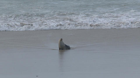 calling, seashore, beach,sealions,kangaroo island Footage