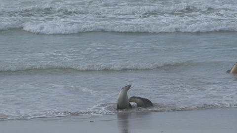 Sea lions fighting near the seashore Stock Video Footage