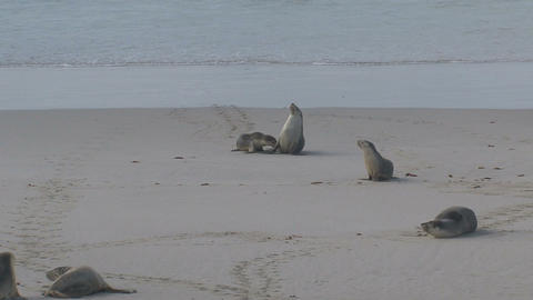 Mother Sea lion and baby running at the beach Stock Video Footage