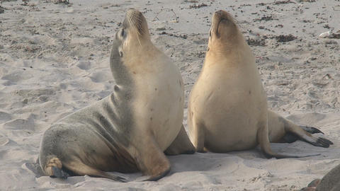 Two Sea lions enjoying the morning sun Stock Video Footage
