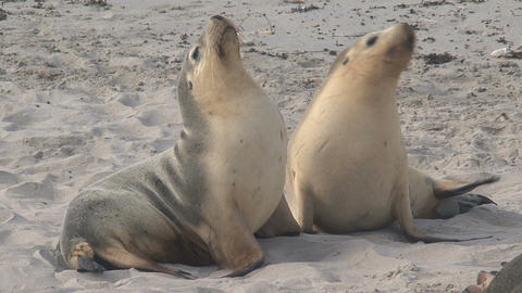 Two Sea lions enjoying the morning sun Footage