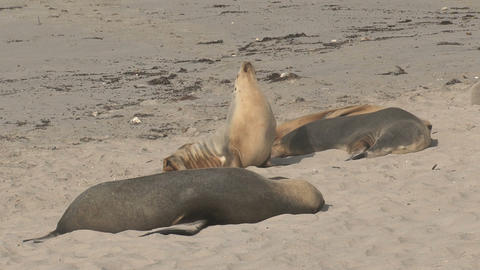 Sea lions sleeping and enjoying the sun at the bea Live Action