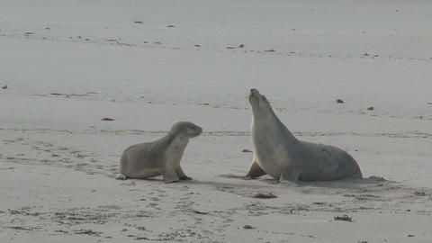 Sea lion sniffing at a mother sea lion Stock Video Footage