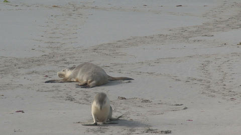 Young Sea lion walks away Stock Video Footage