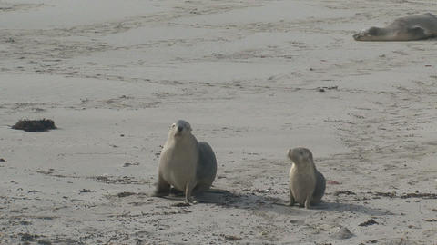 Sea lions walking at the beach Stock Video Footage