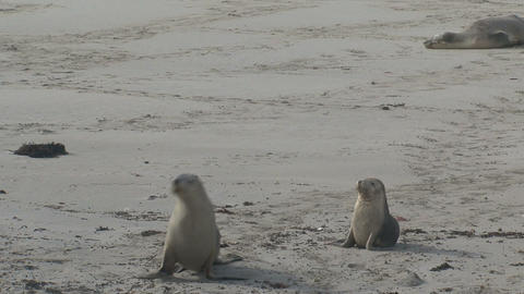 Sea lions walking at the beach Footage