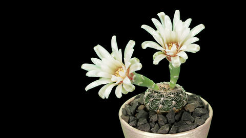 Time-lapse Opening white Gymnocalycium flower Stock Video Footage