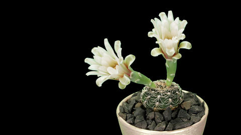 Time-lapse Opening white Gymnocalycium flower Footage
