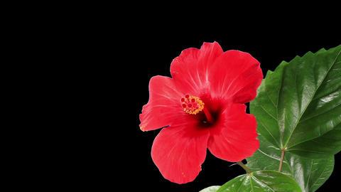 Blooming red Hibiscus flower Stock Video Footage