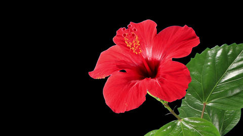 Blooming red Hibiscus flower Footage