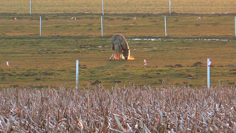 Horse grazing during sunset Stock Video Footage