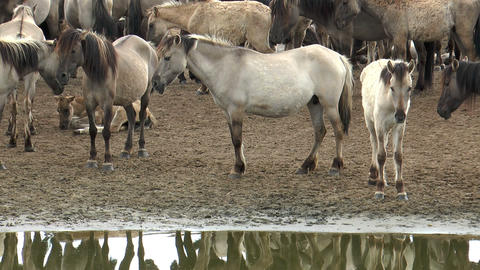 wild pony herd at waterhole Stock Video Footage
