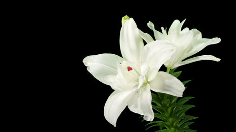Blooming white lily flower buds ALPHA matte (Lilium Annemaries Dream), timelapse Footage