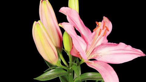 Blooming pink lily flower buds ALPHA matte (Lilium... Stock Video Footage